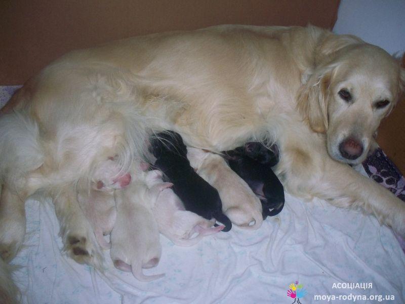 Прибавление семейства! Лада и 8 щенков